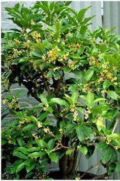 Tea Olive (Osmanthus fragrans) - Deliciously sweet fragrance when the tiny white flowers are in bloom. Even a small blooming branch that is cut and brought indoors can fill a room with very pleasant aroma. There are many different varieties with varying bloom times and maximum growth size, so choose carefully to get a good fit for your garden.