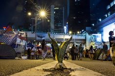 Umbrella Revolution Hong Kong, A plant is seen along the main protest campsite as a festival atmosphere prevails October 25, 2014 in Hong Kong, Hong Kong. Sunday will start a two-day referendum to gauge protesters response to government proposals to end the street occupation that has been going on a month. (Photo by Paula Bronstein/Getty Images)