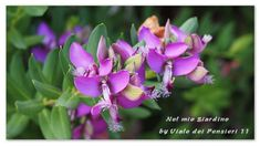 Polygala Myrtifolia pianta sempreverde originaria dell'Africa, di facile…