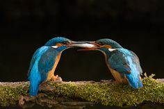 Foto ijsvogelin de collectie collectie-regelvanderden