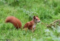 The red squirrel was wide spread around Britain but sadly has declined recently when the grey squirrel was released into Britain and took over their habitat. The red squirrel loves the high tops of conifer trees and is only really seen in Scotland and whales