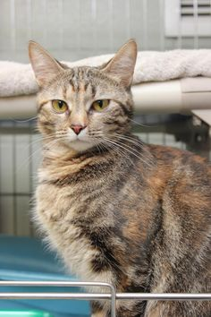 URGENT Meet Magic, a Petfinder adoptable Domestic Short Hair Cat | Hopkinsville, KY | Hi my name is Magic and I am a 1 year old female short haired cat.  I was brought in because my...