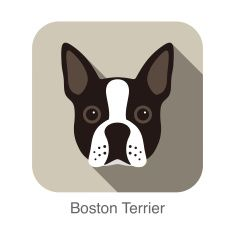 Boston terrier dog face portrait flat icon design vector art illustration