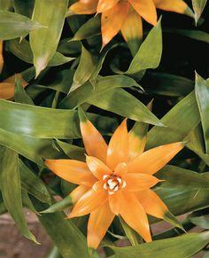 As bromélias (Neoregelia carolinae) gostam de locais protegidos de vento e meia-sombra.