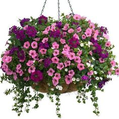 hanging baskets Description This blooming, 10 spring basket is a delight! Bursting with a mix of Petunia, theres no need to wait for summer to enjoy brilliant, flowering color. Petunia Hanging Baskets, Plants For Hanging Baskets, Hanging Pots, Hanging Flowers, Best Indoor Hanging Plants, Container Flowers, Flower Planters, Container Plants, Container Gardening