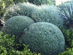 WW -Westringia fruticosa - Front side hedge