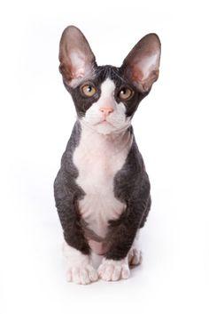 Sphinx cats are legit