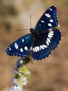 Sylvain azuré (Azuritis reducta) Southern White Admiral Butterfly by Nature Butterfly Kisses, Butterfly Flowers, Blue Butterfly, Mint Flowers, Beautiful Creatures, Animals Beautiful, Cute Animals, Beautiful Bugs, Beautiful Butterflies