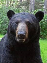 Image result for Dr. Lynn Rogers, Wildlife Biologist, No. American Bear Center, Ely, MN