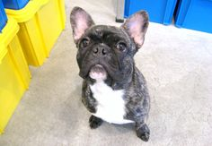 Mr. Leo, French Bulldog