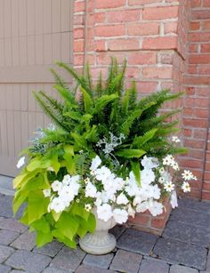 Greens, silvers, and whites make this an eye-catching planter: Ferns, petunias, dusty miller, sweet potato vine.