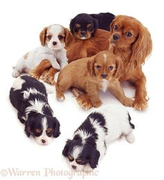 Dogs: Ruby Cavalier King Charles Spaniel mother with mixed pups, some sleeping.