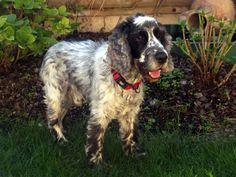Dog - English Cocker Spaniel - atoll on www.yummypets.com
