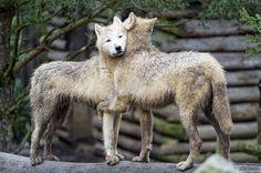 Волчьи обнимашки)