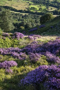 Heather blooming on the hills of England by R A Kearton on Getty Images