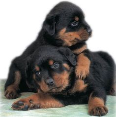 I love Rotties!!! They remind me of little bears!!