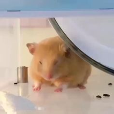 Funny Rats, Funny Hamsters, Funny Animal Memes, Funny Animal Pictures, Cute Animal Photos, Baby Animals Super Cute, Cute Little Animals, Cute Funny Animals, Hamsters Video