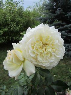 ~Grandiflora rose 'Tchaikovski', Meilland 2000