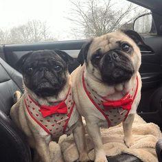 Love pugs ❤️❤️ #poochusir #handmadewithlove #handmade #handmadeinengland #poochusirharness #lovepugs #lovedogs #pugharness #dogharness #dapperdog #dapper #lovehearts #dogsinbowties #pugsinbowties #pug #pugcrush #puggywuggy #pughearts #heartcandy #love #pug #dapper #cutenessoverload #valentinesday