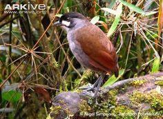 Jocotoco antpitta -endangered