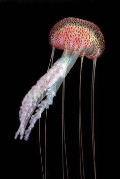 Jellyfish, Florida