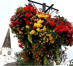 loads of begonias and Million Bells Calibrachoa in hanging baskets #garden #gardening #flowers
