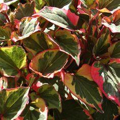 HOUTTUYNIA cordata 'Chameleon' : Couvre-sol rhizomateux à feuillage décoratif au parfum d'orange. Fleurs blanches. Massif, potée, bord de l'eau. Feuilles panachées de rouge, de jaune, de crème.
