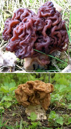 The Brain mushroom (Gyromitra esculenta) and other interesting organisms in the Fungi Kingdom