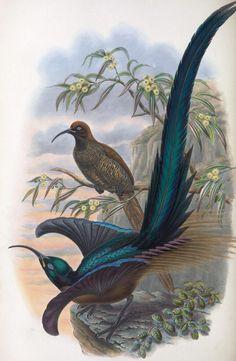 Bird of paradise  1891 antique prints 20 printable  high