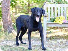 Wainscott, NY - Labrador Retriever Mix. Meet ORION, a dog for adoption. http://www.adoptapet.com/pet/14454081-wainscott-new-york-labrador-retriever-mix