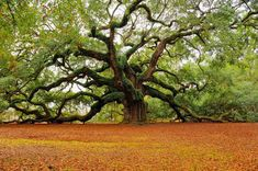 40 Incredible Photos of Breathtaking Places,1500 year old Angel Oak in Charleston, South Carolina,
