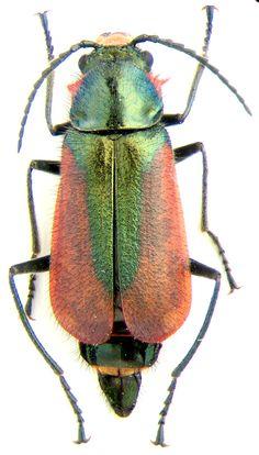 http://www.zin.ru/animalia/coleoptera/images/malaenkm.jpg