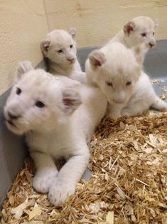 Toronto Zoo white lion cubs                                                                                                                                                      More