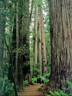Ancient Coast Redwoods at Redwood National Park in California.The remote Northern California location lets visitors experience big trees without big crowds.