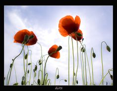 Amapolas by Jabi Artaraz, via 500px.
