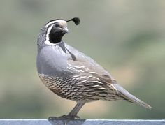 Befinners Guide to Raising Valley quail