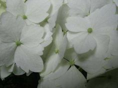 Como controlar y cambiar el color de las Hortensias Growing Plants, Flowers, Hydrangeas, Amazing, Gardens, White Hydrangeas, White Roses, Hydrangea Care, Blue Hydrangea