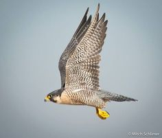 Peregrine Falcon   photo by Mitch Schlimer
