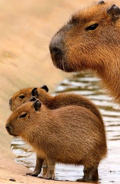 Capybara,the world largest rodent. Capybara,the world largest rodent. The Animals, Nature Animals, Cute Baby Animals, Funny Animals, Animals Images, Wild Animals, Amazing Animals, Animals Beautiful, Rodents
