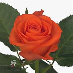 Rose almanza 60cm is a lovely Orange cut flower - wholesaled in Batches of 20 stems. As a rule of thumb, the taller the stem the larger the flower head & longer the vase life.