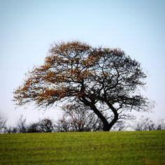 Enligt træ på bakke nord for Assens #visitfyn #fyn #nature #visitdenmark #naturelovers #nofilter #natur #denmark #danmark #dänemark #landscape #nofilter #assens #mitassens #vildmedfyn #fynerfin #assensnatur #vielskernaturen #visitassens #forrest #instapic #tree #hill #picoftheday #november