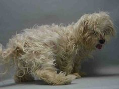 SAFE - 12/28/15 - **SENIOR ALERT** - PINTO - #A1061646 - Super Urgent Brooklyn - ***POSSIBLY ENLARGED HEART - NEEDS TRANSFER TO VET BY 6 PM - 12/29/15***  -  NEUTERED MALE WHITE MALTESE, 10 Yrs- STRAY - NO HOLD Intake 12/28/15 Due Out 12/31/15 - VERY EASY TO HANDLE