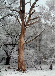 A bare tree in winter