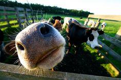 cow lips