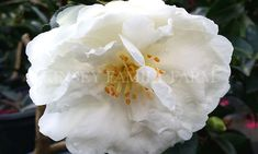 Mine No Yuki  'White Doves' dwarf camellia. Fall winter flowering, white flower.