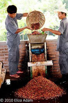 Hulling coffee beans, Yogyakarta, Indonesia