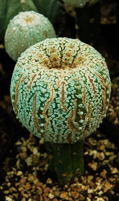 Superkabuto (zebra, tiger or V-type). (Cactus) The colour is wrong but I think that's from the way the photo was taken. Cacti And Succulents, Planting Succulents, Garden Plants, Planting Flowers, Weird Plants, Unusual Plants, Exotic Plants, Cactus Planta, Cactus Y Suculentas