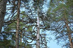 pyhäpuu - Google Search