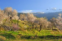 Title  Flowering Almond  Artist  Guido Montanes Castillo  Medium  Photograph