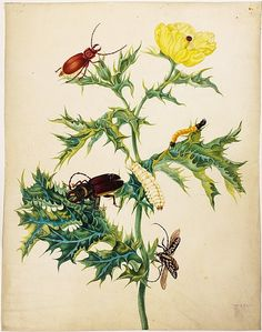 Watercolor argemony Mexican (Argemone mexicana), Lumberjack stenodotes (Stenodotes spinibarbus  [top]), bearded Lumberjack kallipogona (Callipogon barbatus [the center]), beetle (Taeniotes subocellaris), one larva wireworms (Elateridae gen. spec.). 1700–1702. Maria Sibylla Merian: Leningrader Aquarelle. Leipzig, 1974. Bd.2. S.237